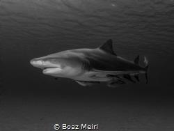 Lemon Shark by Boaz Meiri