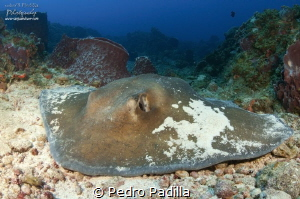 Southern Stingray by Pedro Padilla