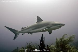 Carcharinus Perezi by Jonathan Sala