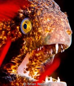 Black Cheek Moray Eel by Brian Welman
