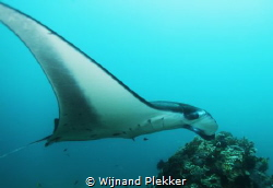 Manta ray at Manta Point, Komodo - Indonesia by Wijnand Plekker