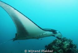 Manta ray at Manta Point, Komodo - Indonesia by Wijnand Plekker