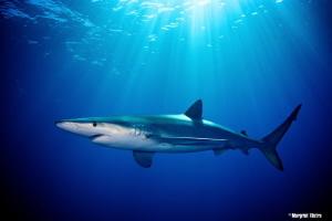 Luminous Blue Shark Nikon D80, Ikelite housing + two Ike... by Margriet Tilstra