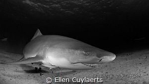 Lemon shark contact by Ellen Cuylaerts