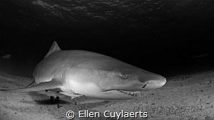 Lemon shark contact by Ellen Cuylaerts