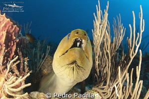 Close encounter with green moray  Wall Dive Playa Santa ... by Pedro Padilla