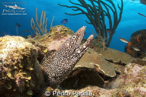 Close encounter with spotted eel 