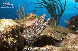 Close encounter with spotted eel  Wall Dive Playa Santa ... by Pedro Padilla