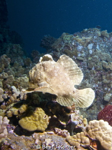 Lonesome frog fish 'walks' over Hawaiian reef. by Beat J Korner