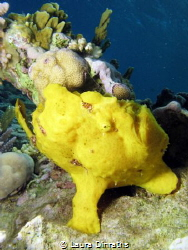 A big yellow frogfish on coral reef by Laura Dinraths