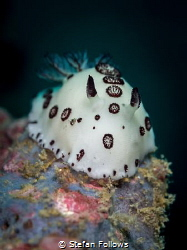 Charge.....! Nudibranch - Jorunna funebris. Ang Thong, Th... by Stefan Follows