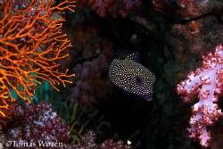 A Spotted boxfish hiding among colourful coral at stonehe... by Tomas Woren