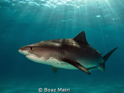 Tiger Shark by Boaz Meiri