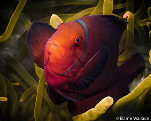 Maroon anemone fish by Elaine Wallace