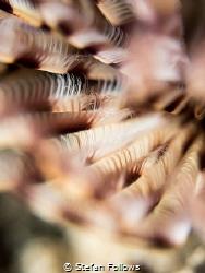 Happy Place. Feather Star - Crinoid sp. Chaloklum, Thaila... by Stefan Follows