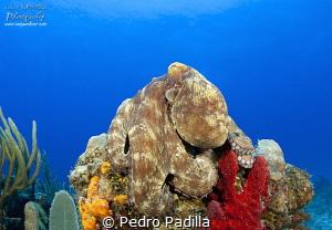 Octopus sunbathing by Pedro Padilla