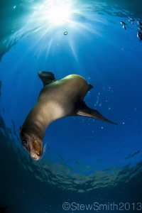 A playful Sea Lion likes being centre of attention by Stew Smith
