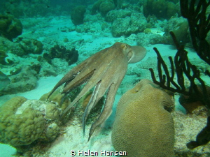 Swimming Common Octopus I love these so much so much char... by Helen Hansen