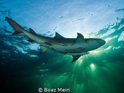 Lemon shark and rays of sunlight by Boaz Meiri