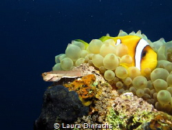 A Red Sea Combtooth blenny shares space with an Anemonefi... by Laura Dinraths
