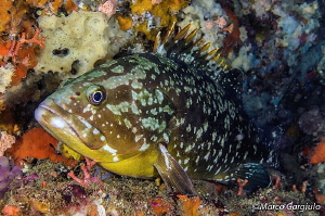 Grouper, night dive by Marco Gargiulo