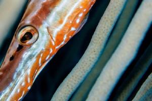 Trumpetfish hiding to ambush prey.  105mm & +5 diopter. by Paul Colley