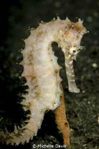 Thorny Seahorse - Nikon D7000 1/320 f/13 ISO 100 Single S... by Michelle Davis