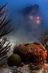 Spawning Barrel Sponge in Bonaire by Karl Dietz