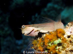Red Sea combtooth blenny by Laura Dinraths