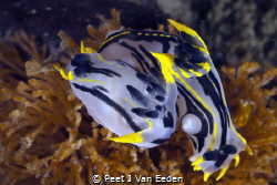 Crowned Nudibranchs positioning themselves head to tail. ... by Peet J Van Eeden