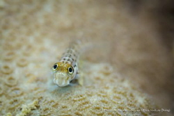 Say Cheeeeeese! Nice goby moving around on the local corals! by Henrik Hedegaard