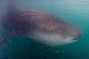 Whale Shark in La Paz Mexico by Alejandro Topete