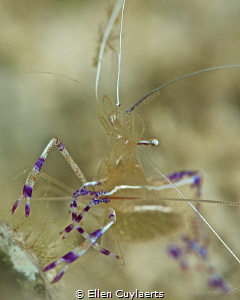 Pederson cleaning shrimp by Ellen Cuylaerts