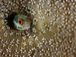 Red eyed blenny. Taken with the D2x and 105mm lens at the... by Luiz Rocha