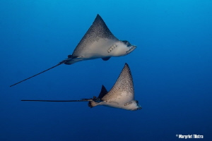 Eagle Ray Couple Nikon D80 with Tamron SP AF 17-50mm f/2... by Margriet Tilstra