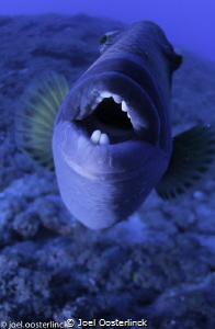 need a dental work ?  this critter was in a combative mood by Joel Oosterlinck