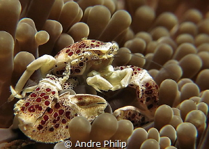 porcelain crab by Andre Philip