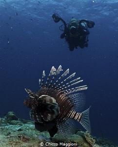 lion fish by Chicco Maggioni