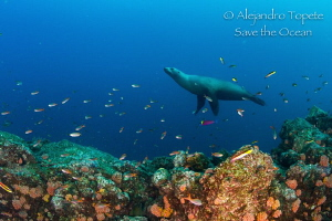 Sea Lion on the reef, La Paz Mexico by Alejandro Topete