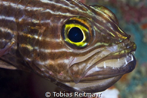 Tiger cardinalfish with eggs, Koh Haa by Tobias Reitmayr