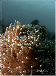 clown and anemone - in a different way by Kf Leong