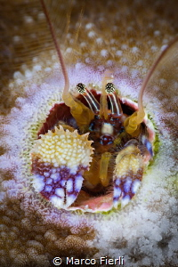 Coral Hermit Crab, portrait by Marco Fierli