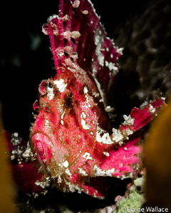 Pink leaf scorpionfish by Elaine Wallace