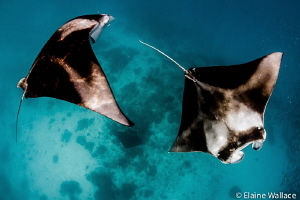 manta near the surface (and another near the seabed!) by Elaine Wallace