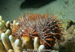 Acanthaster by Philippe Brunner