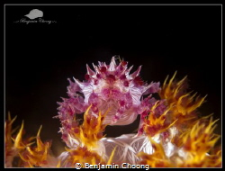 Candy Crab on Fire!!!! (Hoplophrys oatesii)