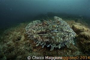 angler fish by Chicco Maggioni