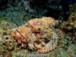 A big camouflaged flathead scorpionfish lies in ambush by Laura Dinraths