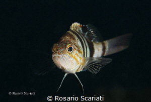 Serranus hepatus by Rosario Scariati