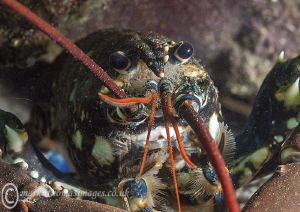 Lobster up close. Trefor pier, N. Wales. by Mark Thomas